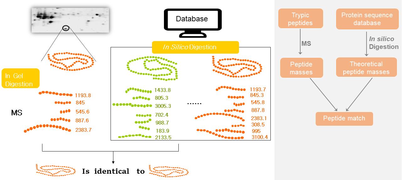 Protein identification-Peptide mass fingerprinting (PMF)