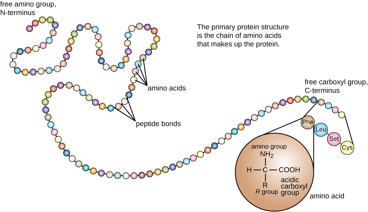 Protein Sequencing of Edman Degradation