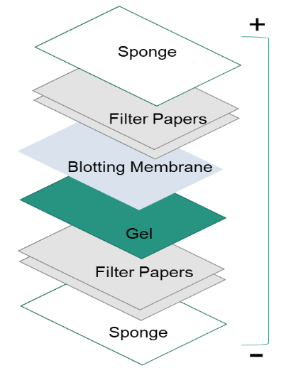 how to make 5 milk for western blot