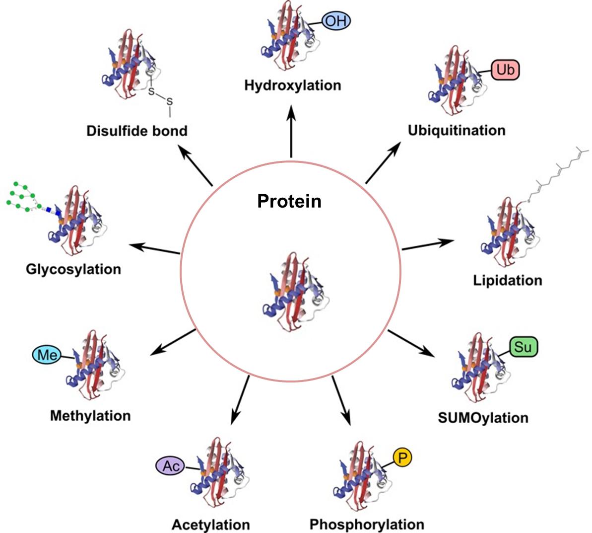 Strategies for Post-Translational Modifications (PTMs) – Creative  Proteomics Blog