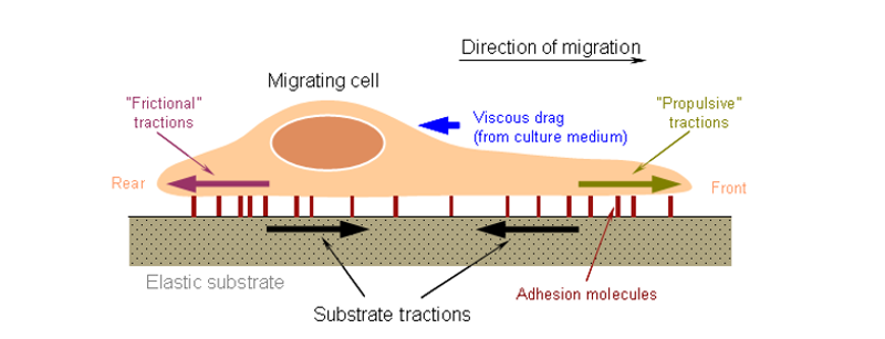 Cell Migration Research