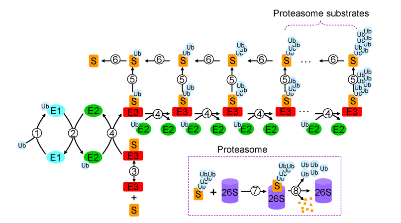 Brief Introduction on Ubiquitin and Protein Ubiquitination