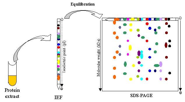 2D Electrophoresis - Creative Proteomics