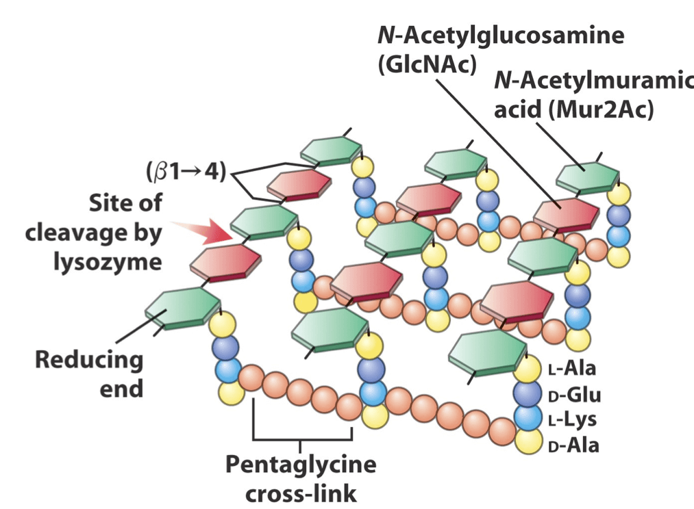 Peptidoglycan Structure Analysis