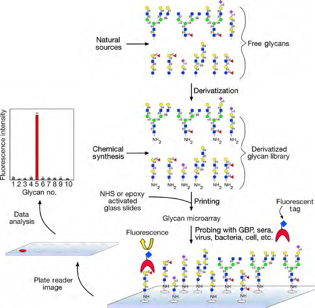 Glycan Microarray Assay
