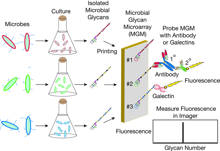 Microbial Glycan Microarray