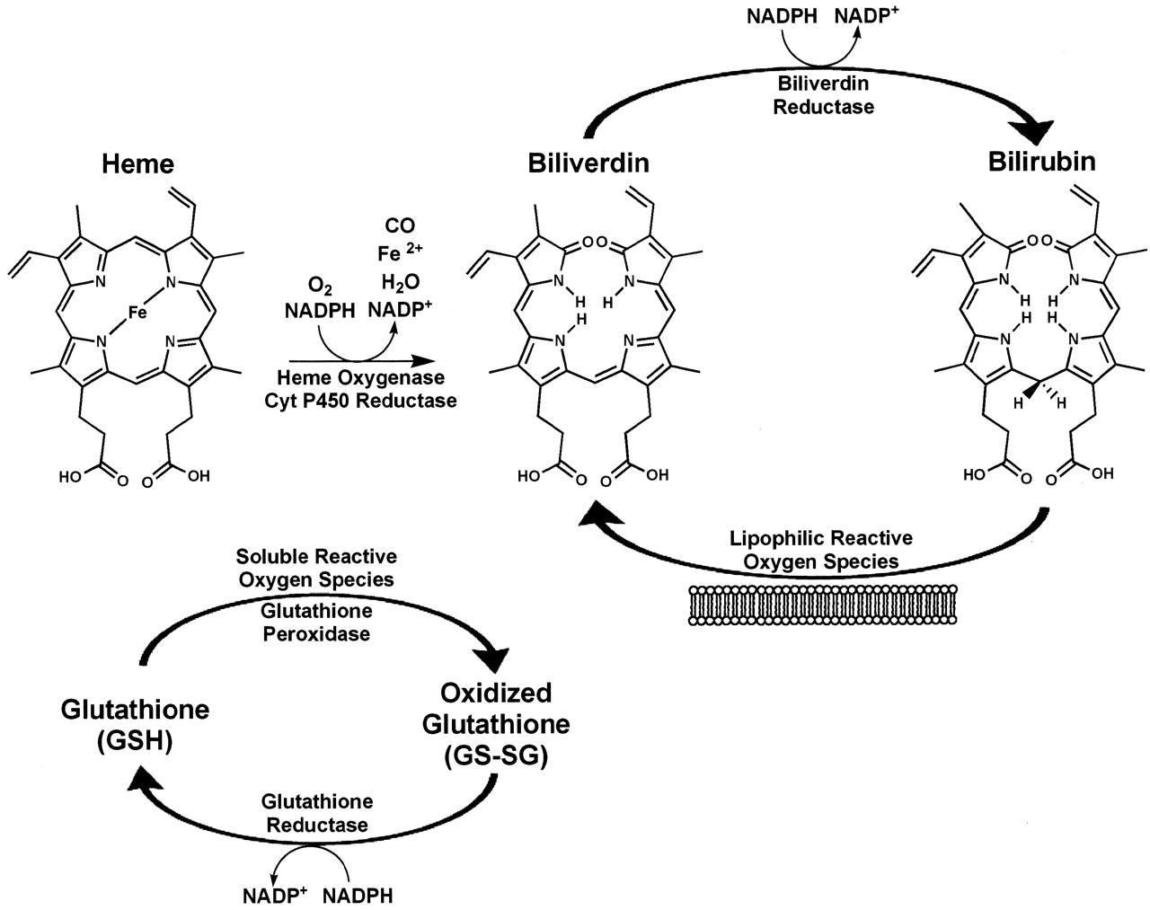 Glutathione Peroxidase 1 Activity and Cardiovascular
