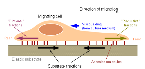 The diagram of Cell Migration