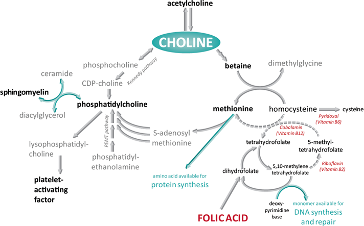 choline and its metabolites analysis