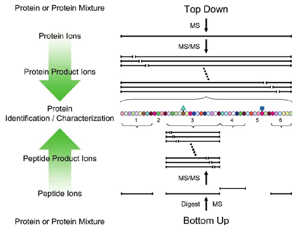 Schematic overview of bottom-up and top-down approaches employed for tandem MS-based protein identification and characterization