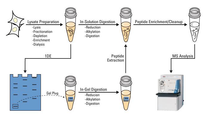 Protein Digestion - Creative Proteomics