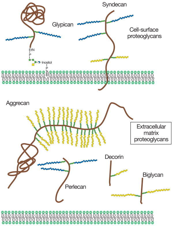 Proteoglycans  consist of a protein core (brown)  and one or more covalently attached glycosaminoglycan chains ([blue] HS; [yellow] CS/DS)