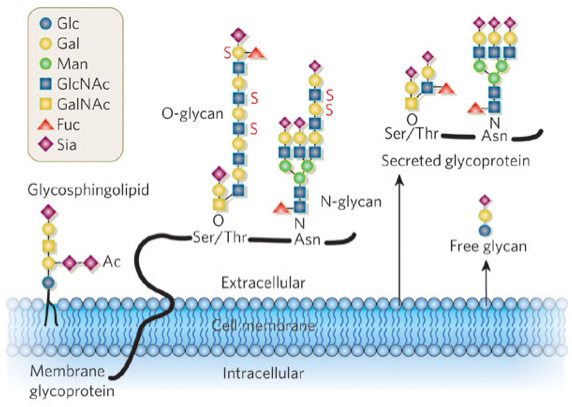 Glycosphingolipid Glycans Analysis
