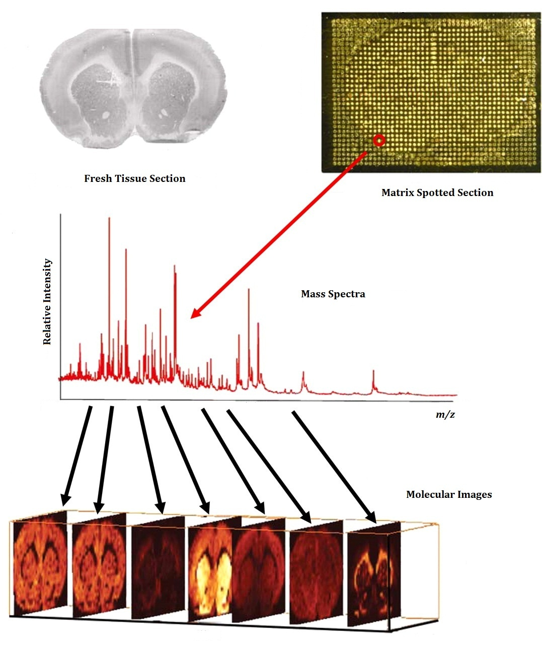 Mass Spectrometry Imaging