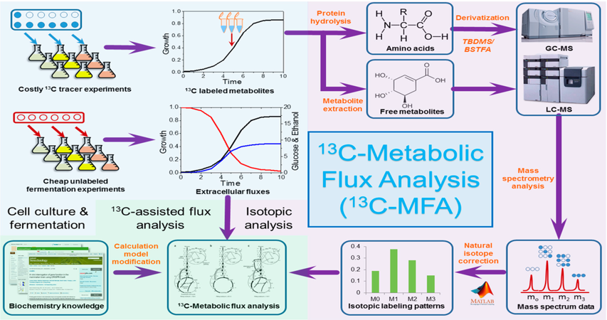 Metabolic Flux Analysis (MFA)