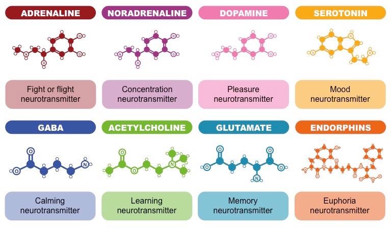 neurotransmitter neuron and hormones function