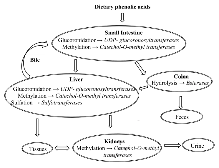 Distribution for phenolic  acids in living organisms
