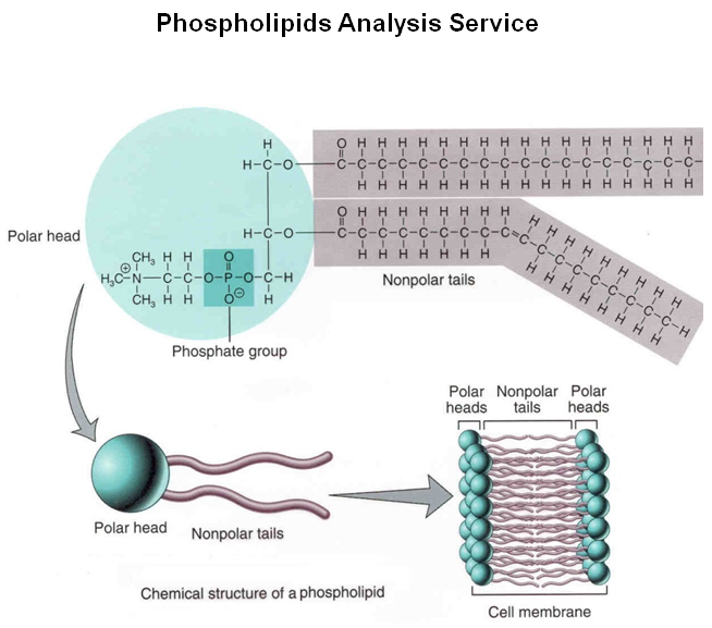 phospholipids analysis service creative proteomics phospholipid molecule and label phospholipid molecule diagram #11