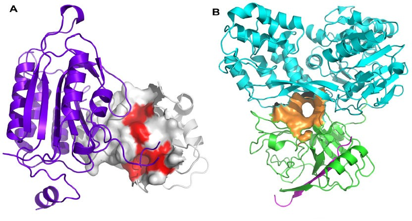 Protein-protein interaction hot spots and allosteric sites.
