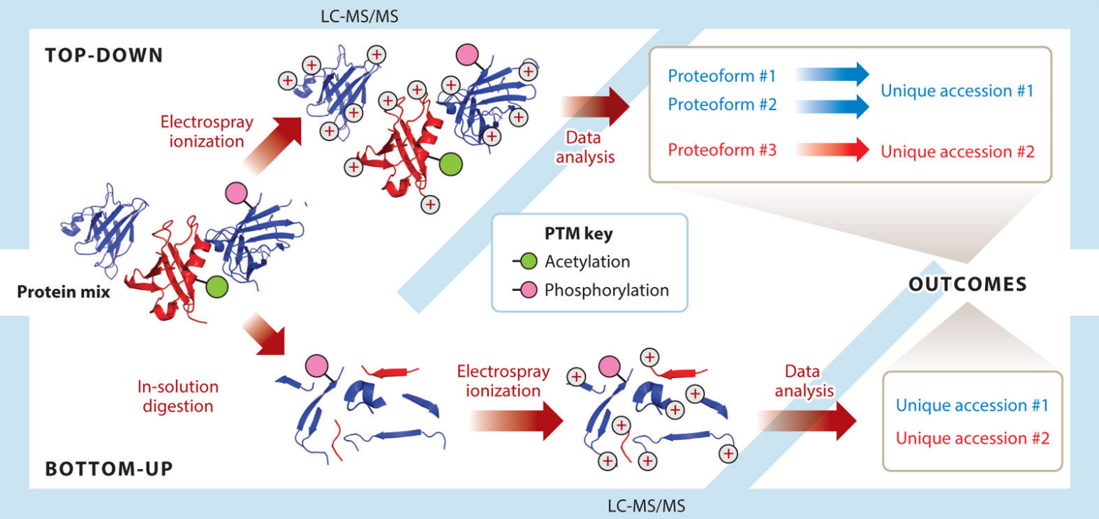 Divergent workflows in top-down and bottom-up proteomics.