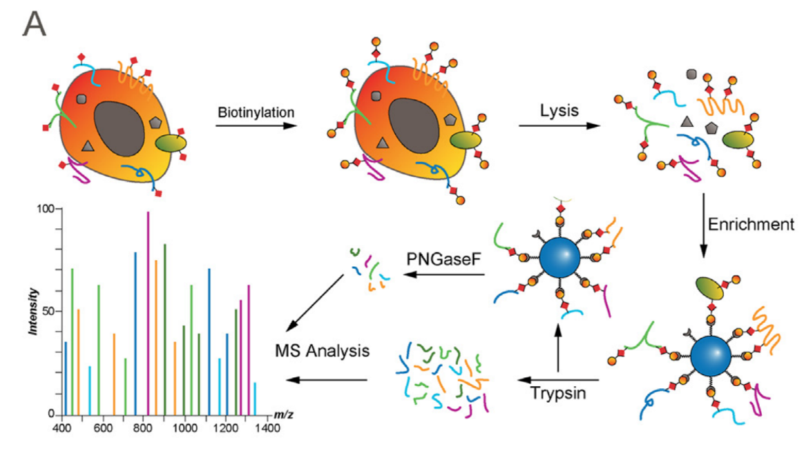 Cell Surface Proteomics