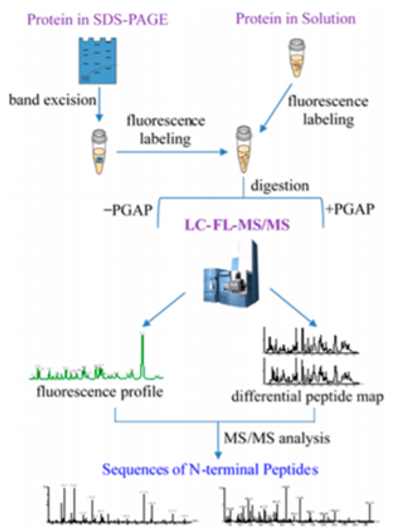 Workflow for identification and sequencing of N-terminus by mass spectrometry